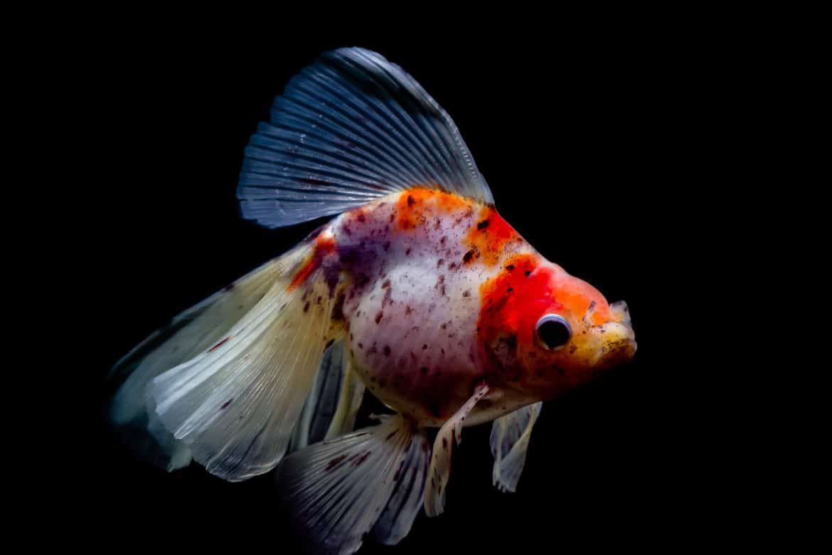 A calico goldfish isolated on a black background