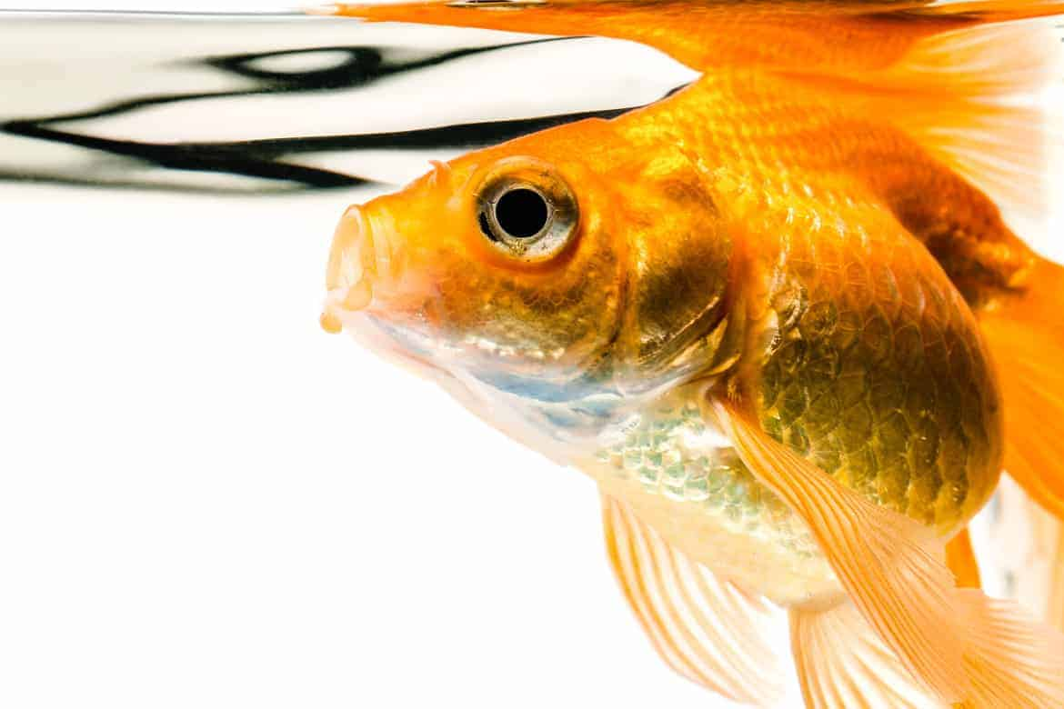 Orange goldfish at the surface of water, on a white background