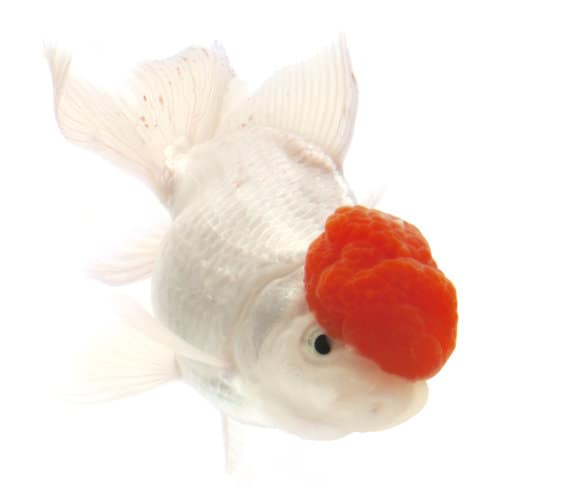 A white goldfish with a red head isolated on white