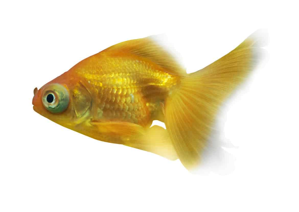 Isolated side view image of a yellow goldfish on white background