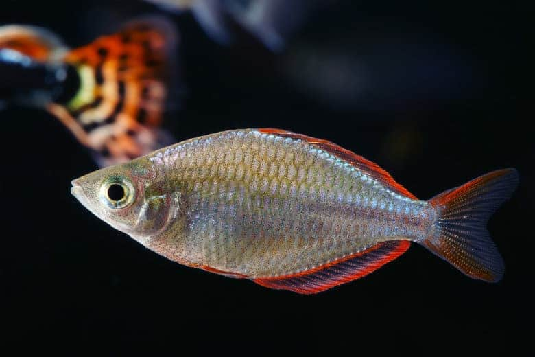 Close up of a neon dwarf rainbowfish