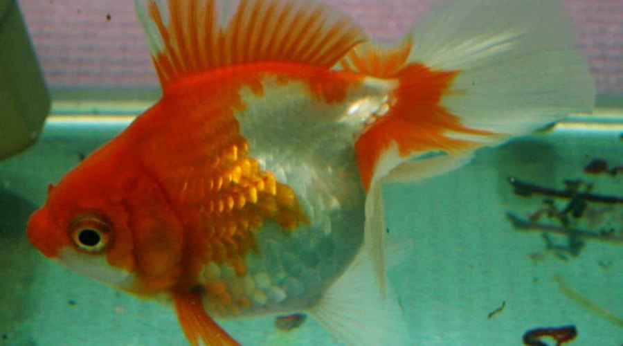 Close up side view of a Tosakin goldfish