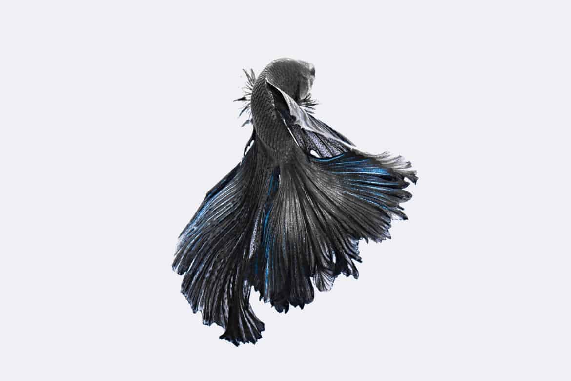 Black betta fish isolated on light gray background