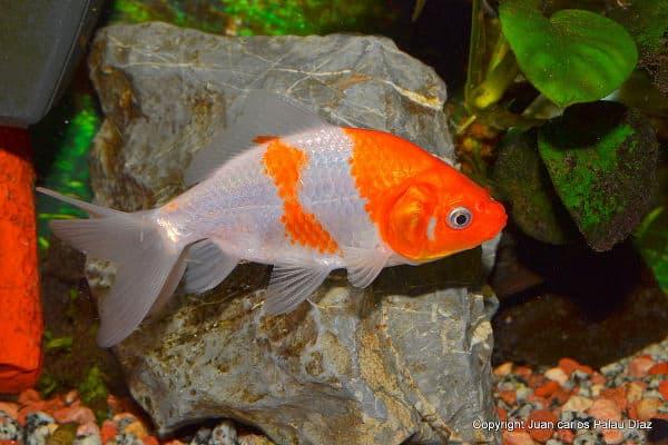 Side view of Wakin goldfish in front of aquarium rocks