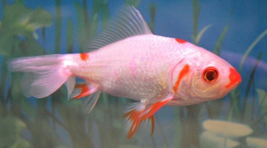 An almost white wakin goldfish