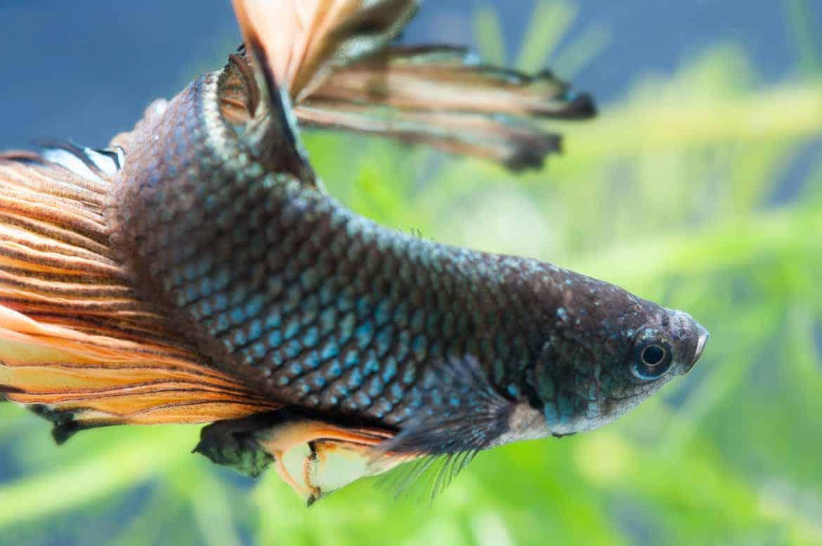 Close up of a blue / brown betta fish against a background of blurred green aquarium plants