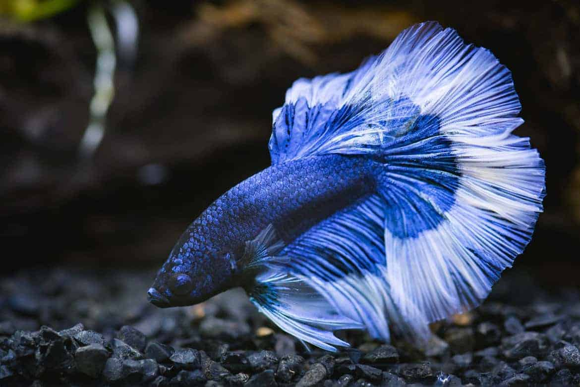 Close up of blue half moon betta fish nosing in black gravel substrate