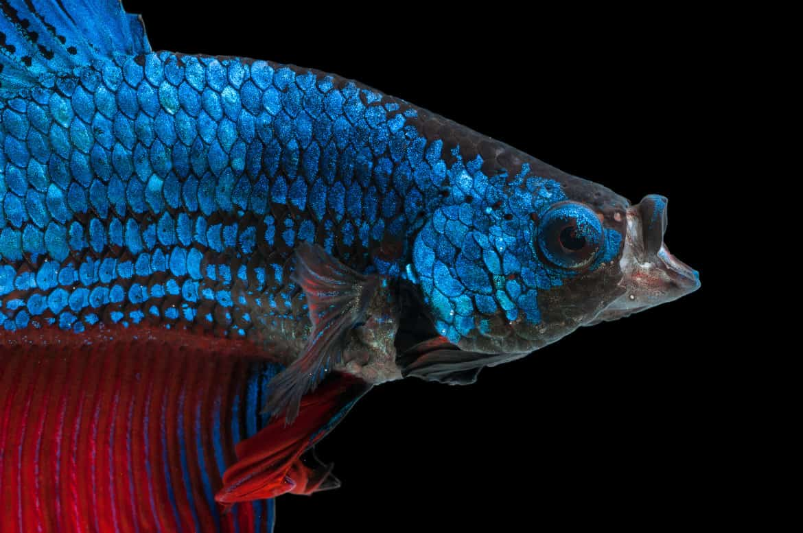Close up of the face of a blue betta isolated on black