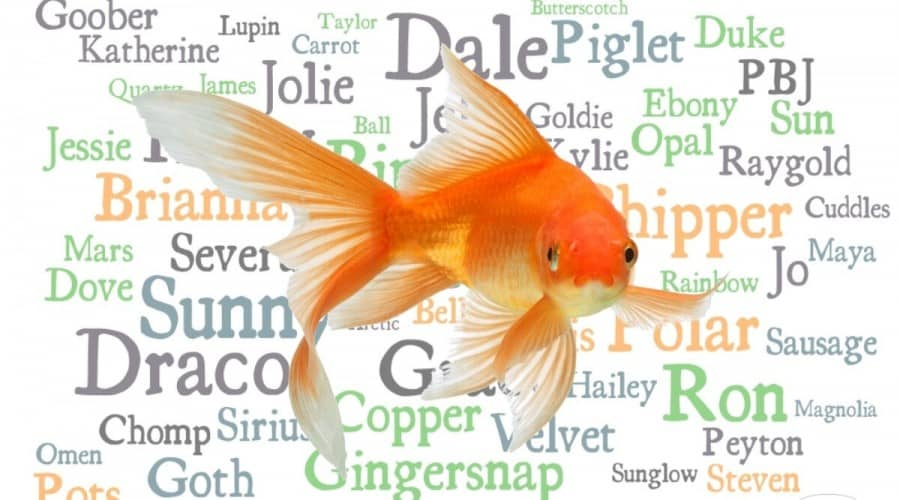 Orange golfish in front of a montage of many names in different fonts
