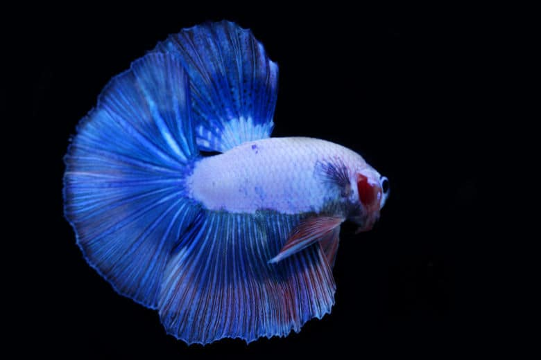Blue betta fish isolated on black background