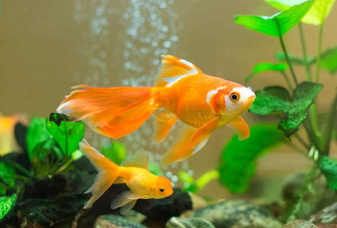 2 goldfish swimming toward a green plant, with bubbles in the background