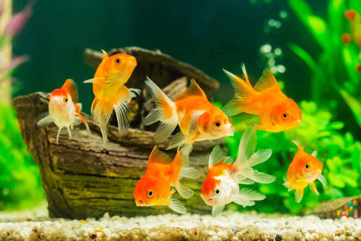 Many goldfish in an aquarium with many green plants