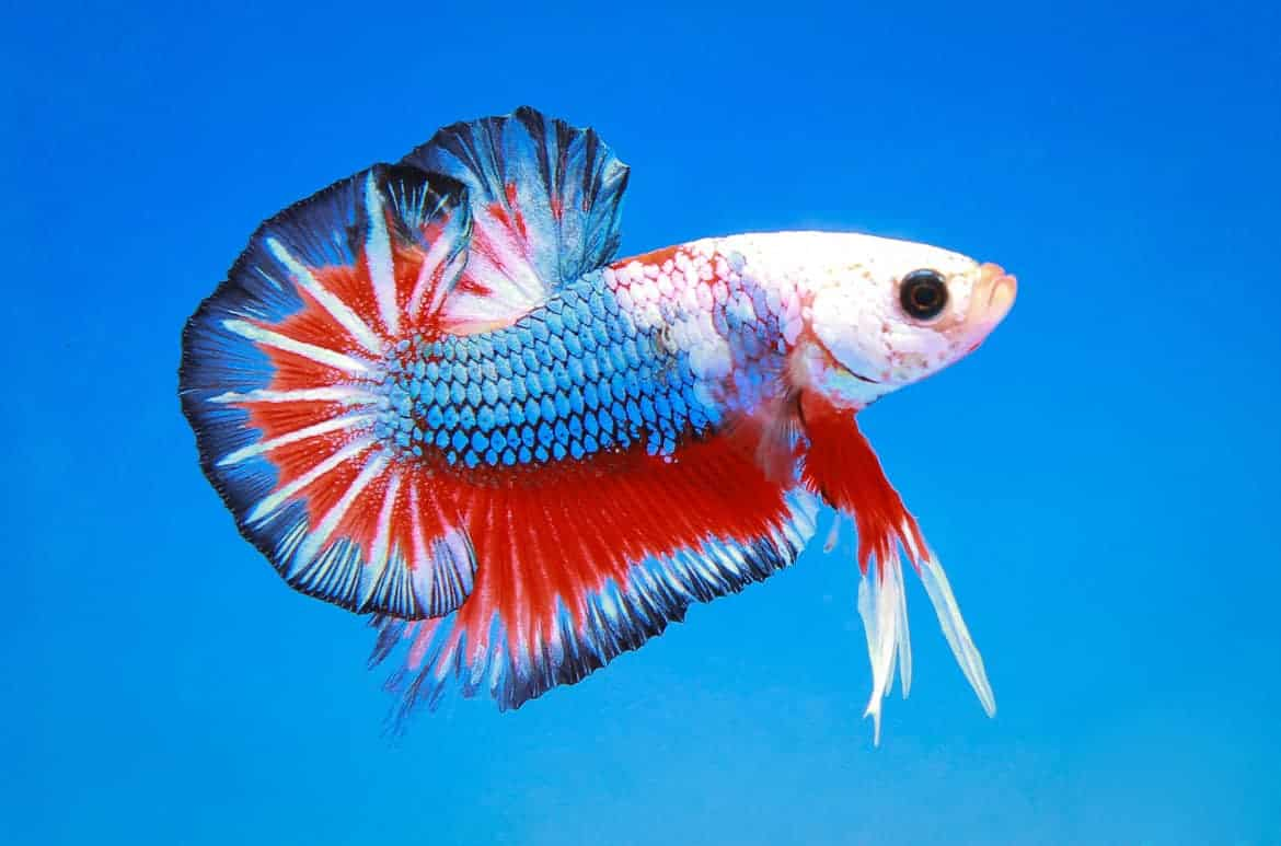 A multi-colored betta fish isolated on blue background