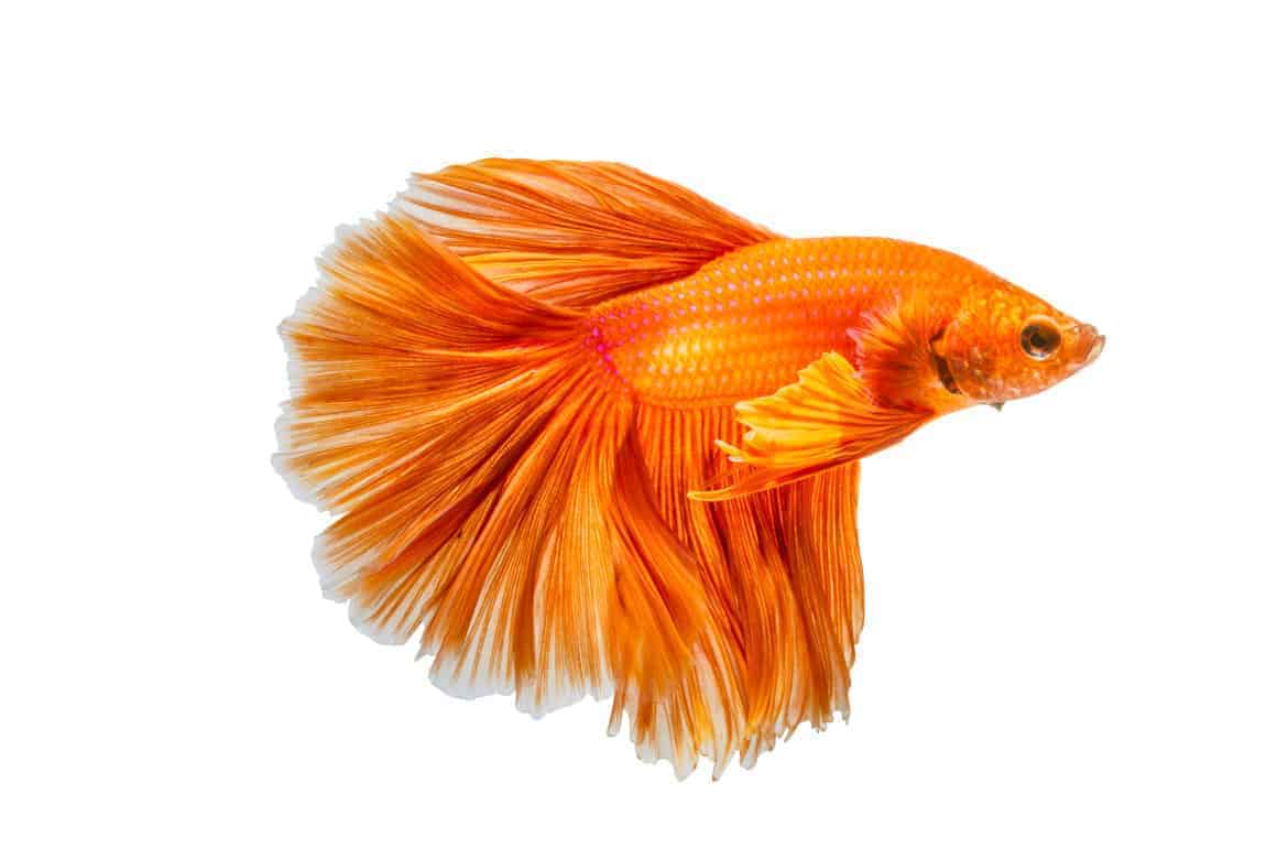 Close up of orange siamese fighting fish isolated on white
