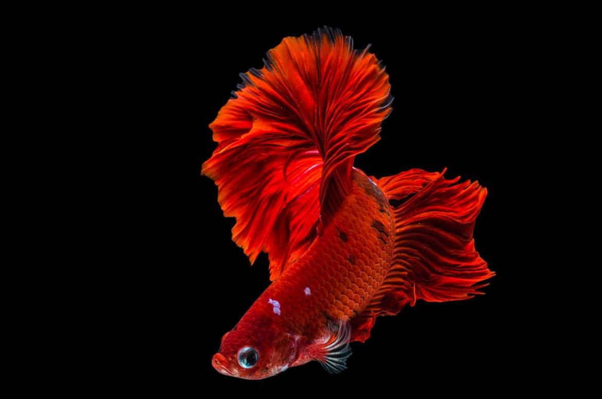 Close up of red betta / siamese fighting fish on black background