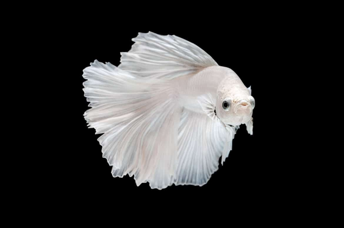 Close up of white betta fish isolated on black background