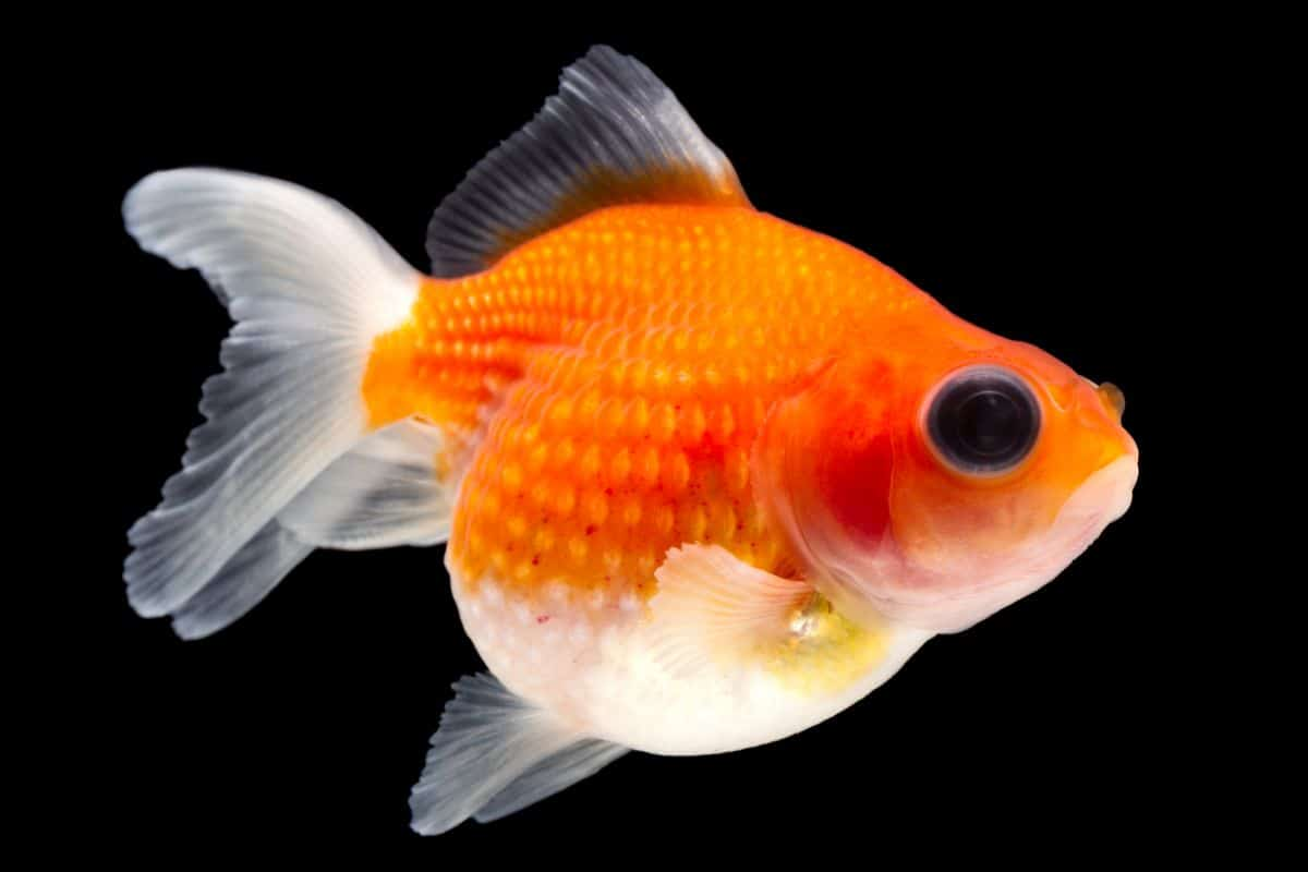 A pearlscale goldfish isolated on black background