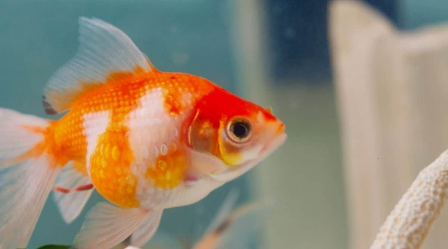 A pearlscale goldfish , side view, in an aquarium