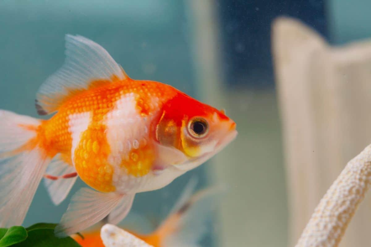 A pearlscale goldfish , side view, in an aquarium