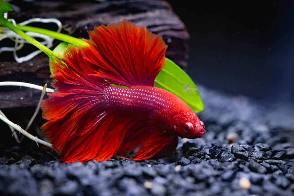Close up of red betta fish swimming above black substrate