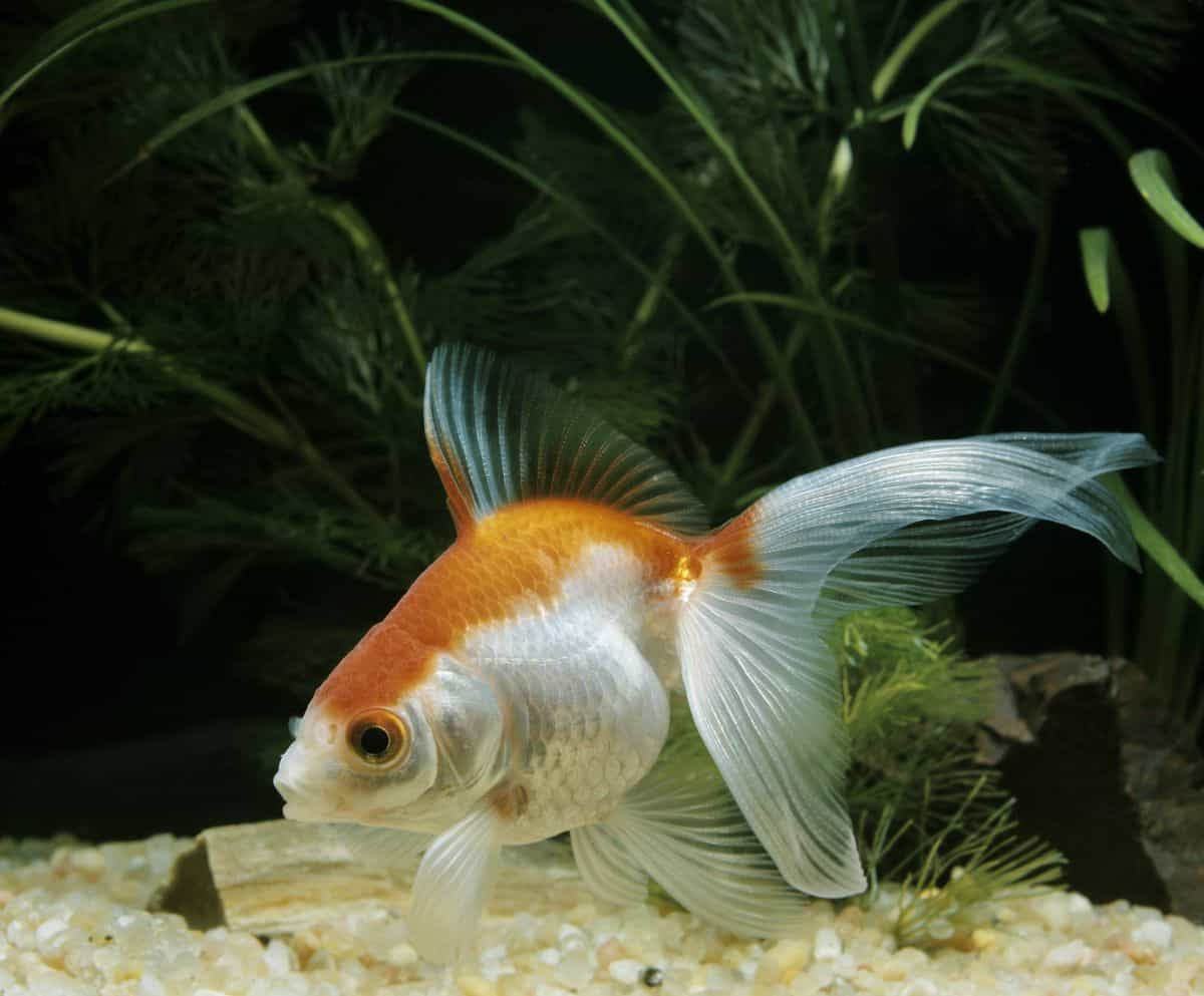 Orange and white fancy veiltail goldfish, swimming just above a light colored gravel in a planted tank