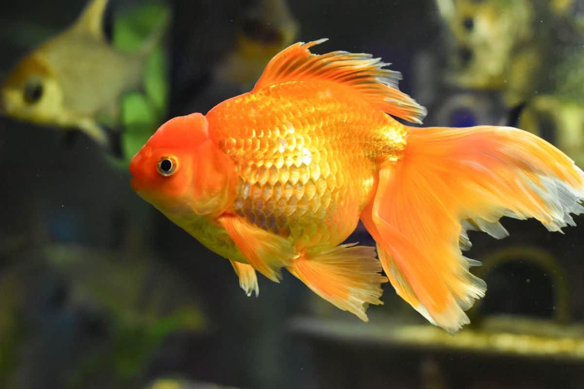 Close up shot of a large orange, veiltail goldfish