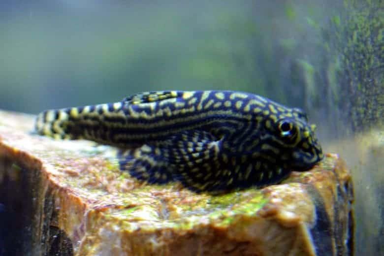 Close up of a hillstream loach resting on an aquarium rock
