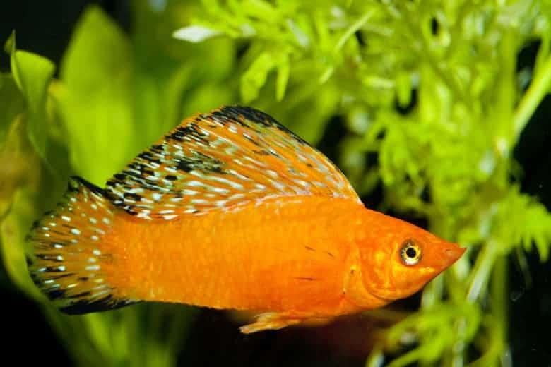 Bright orange colored Molly fish in a planted aquarium