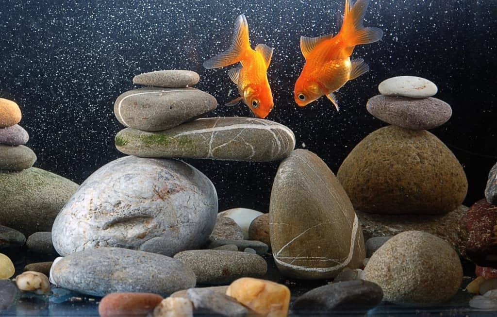 a bare bottom tank with pebbles and 2 goldfish