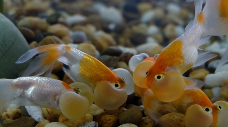 Bubble eye goldfish at the bottom of a gravel substrate tank