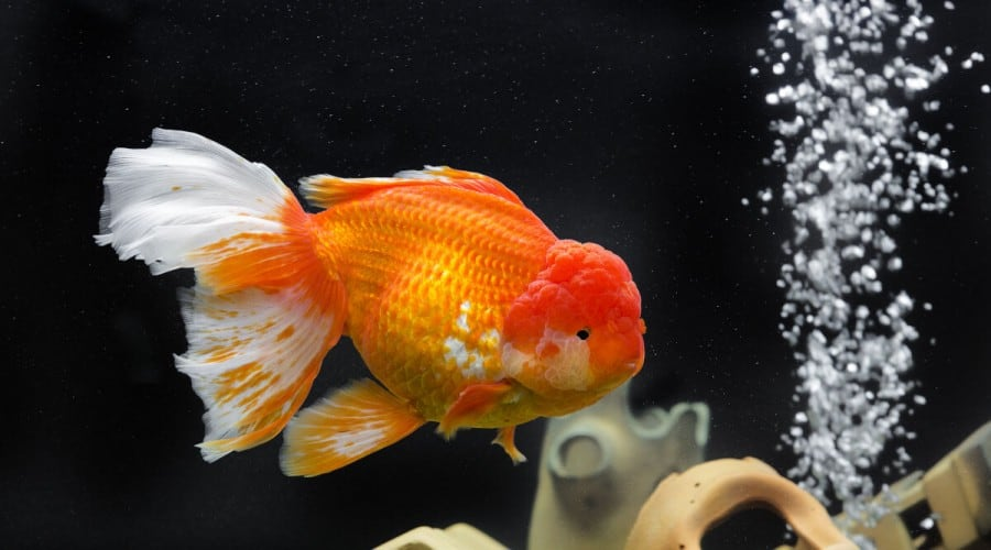A goldfish in a rocky tank, with air bubbles rising from an airstone