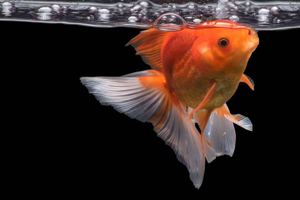 A goldfish feeding from the water surface on a black background