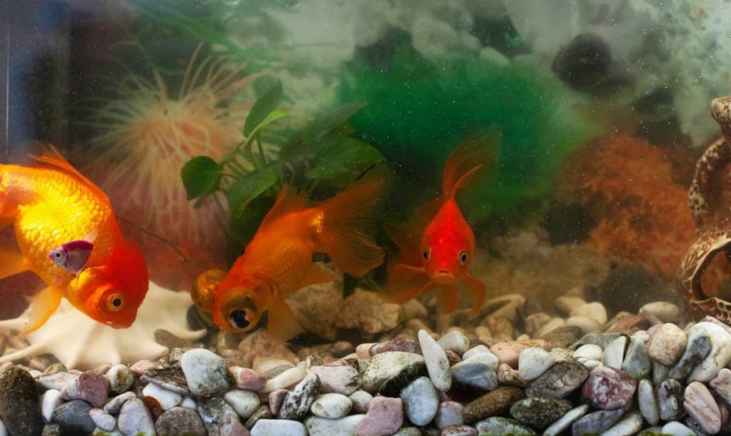 A gravel bottom goldfish tank, with a few orange goldfish in it
