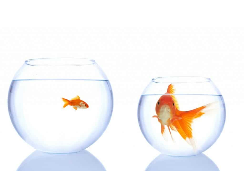 Small goldfish in large bowl, large goldfish in small bowl