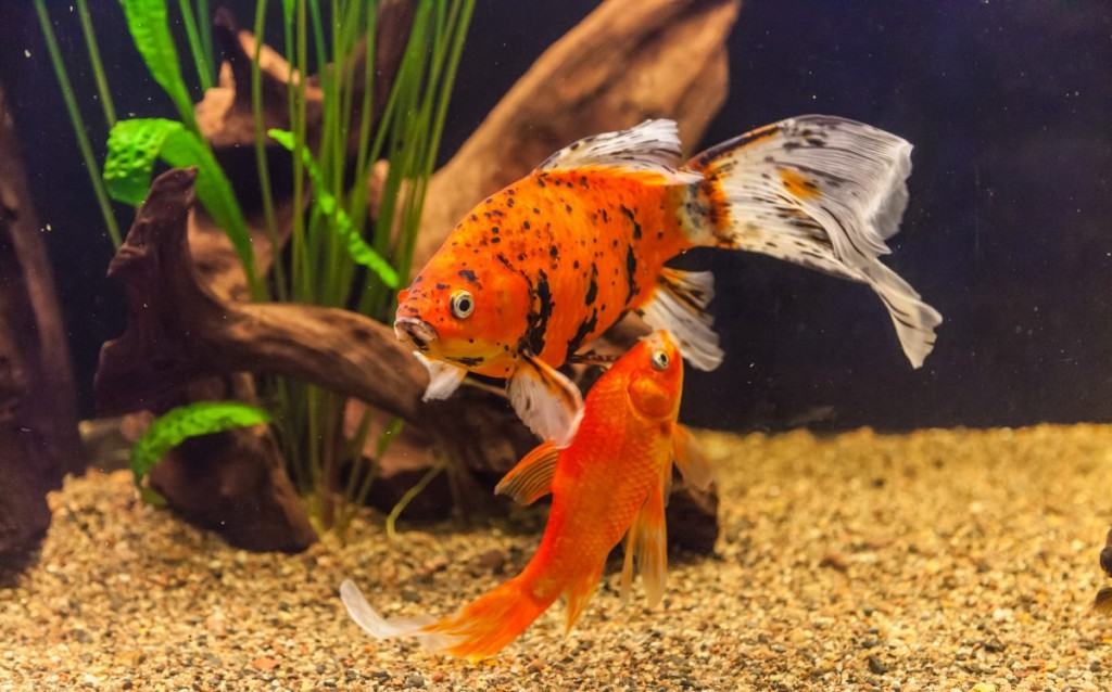 Two goldfish swimming in a well lit, gravel lined aquarium