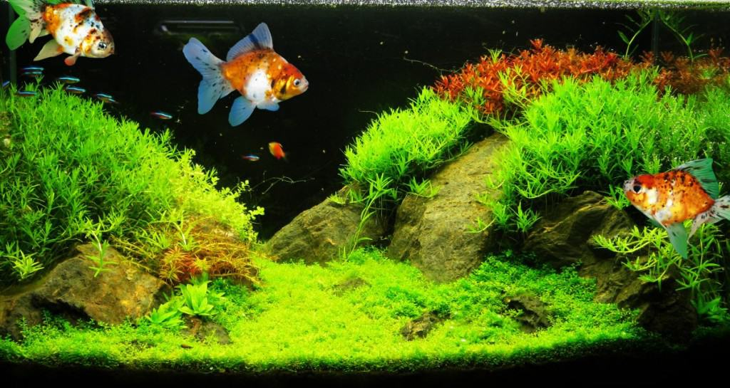 A wide angle shot of a brightly lit planted tank with goldfish in