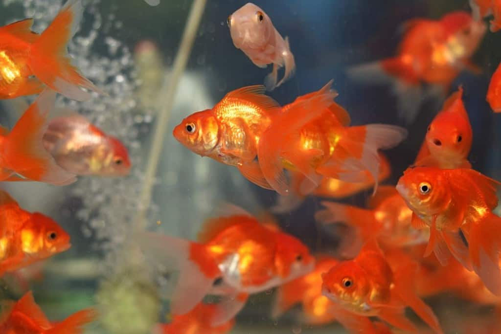 lots of goldfish swimming with bubbles rising up between them