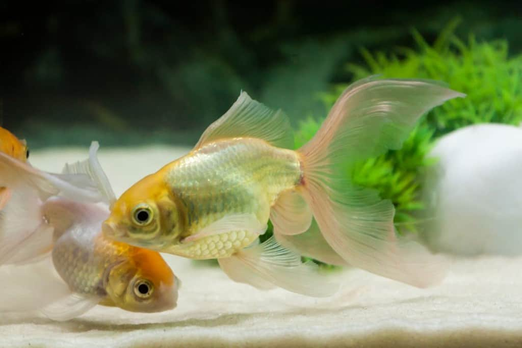 Two goldfish swimming above sand in an aquarium