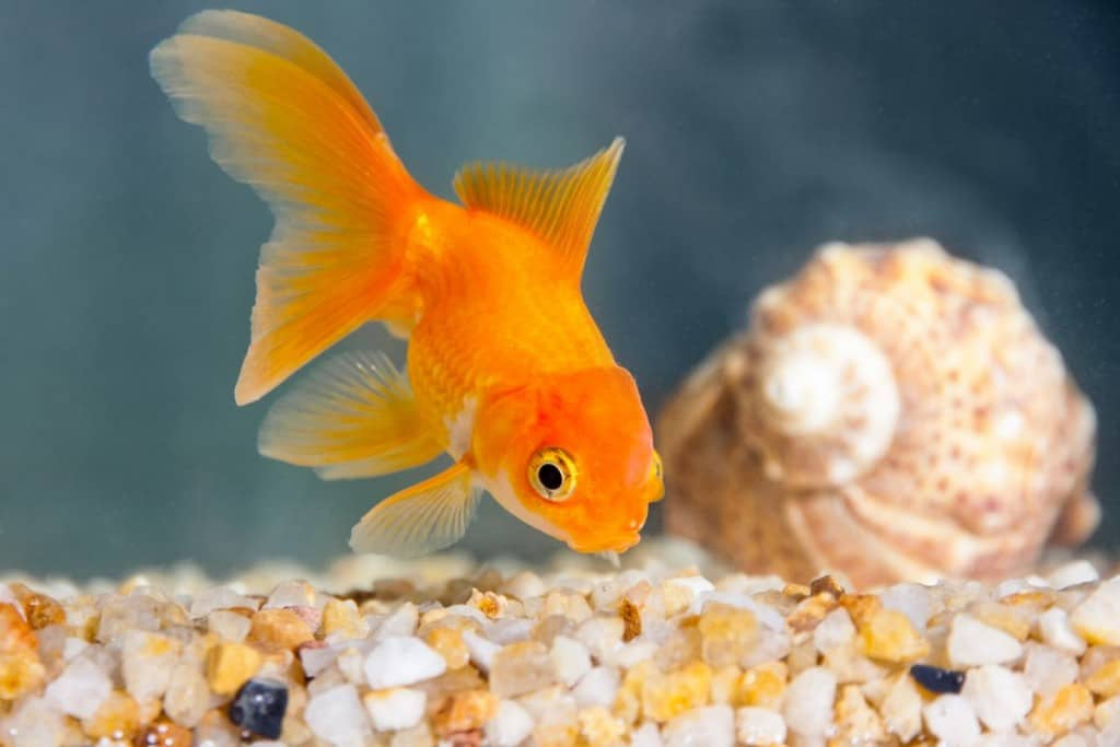 An orange goldfish eating from gravel at bottom of the tank