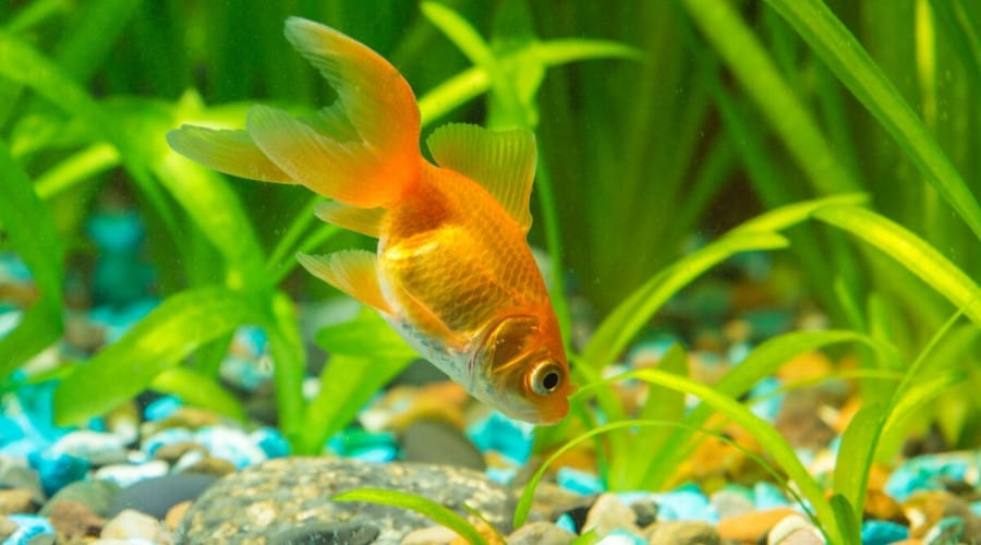 An orange goldfish rummaging for food in the gravel at the bottom of an aquarium