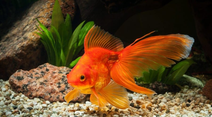 Large orange goldfish, with large flowing fins in a planted tank