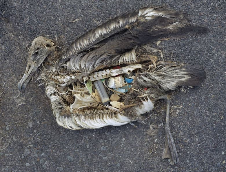 An Albatross carcass shwoing all the plastic in the contents of it's stomach