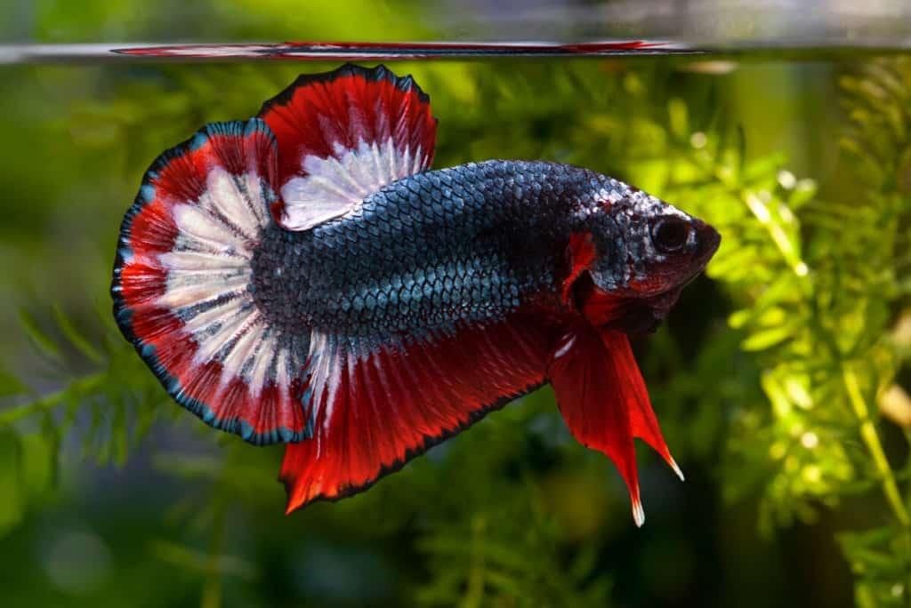 Close up macro shot of a beautiful blue and red betta fish