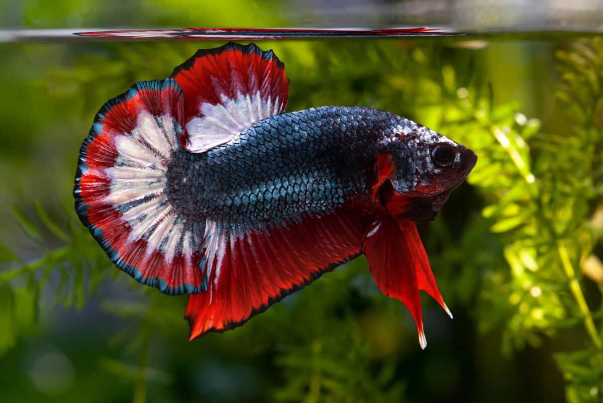 Do Betta Fish Need Light Dark How Many Hours Per Day