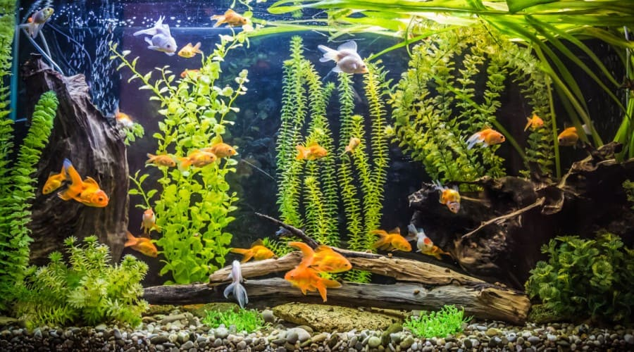 Many goldfish swimming in a large tank with lots of live plants