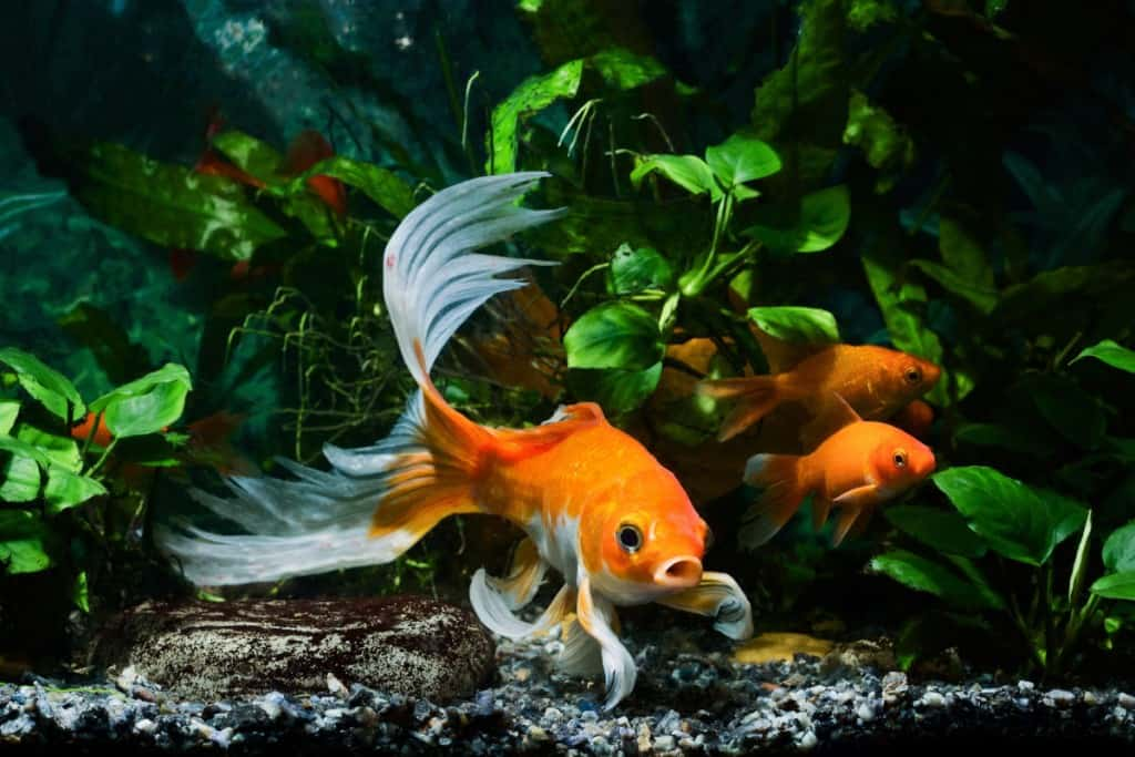 Goldfish swimming in a heavily planted tank