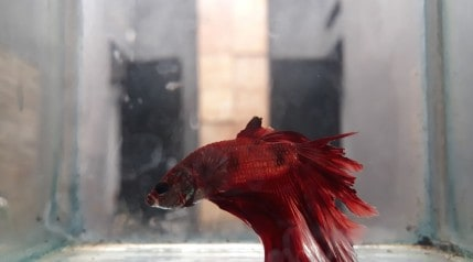 A poorly looking red betta fish in an empty hospital tank