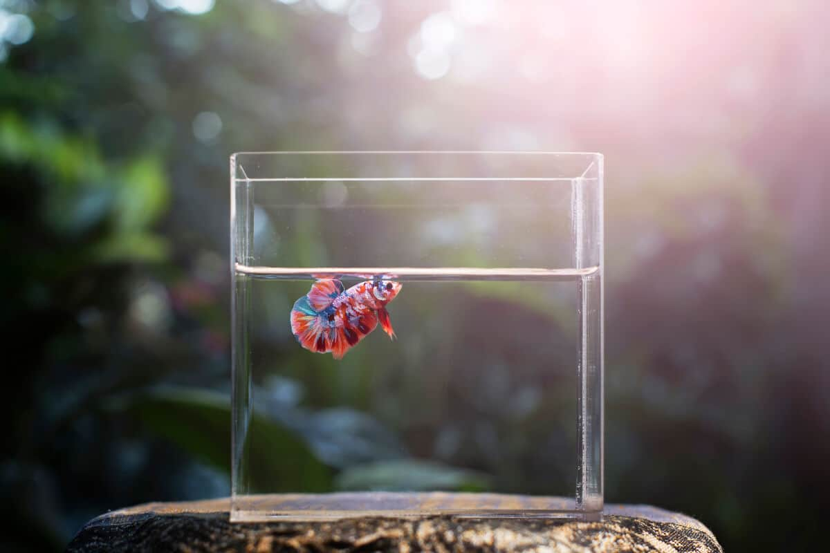 A single, blue and red betta in an otherwise empty tank, with a nature scene in the background