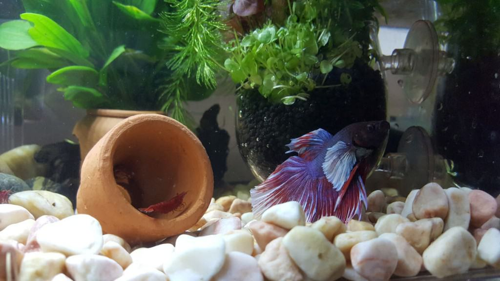 A blue betta fish swimming above large white gravel at the bottom of its tank