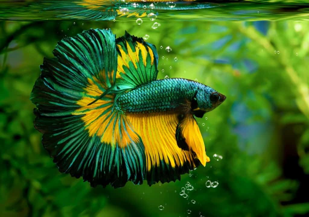 a multi-colored, mostly yellow and green betta against a planted background